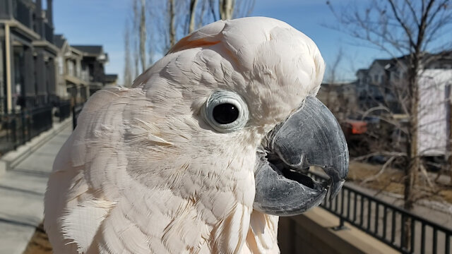 Max the Cockatoo is Known as a Cluckatoo – For His Flawless Chicken Impression